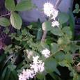 空木(ウツギ)、卯の花